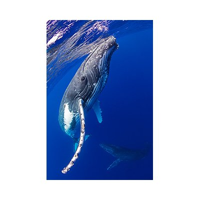 Humpback Portrait